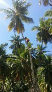 cocoman, czyli osoba zajmująca się zbieraniem kokosów